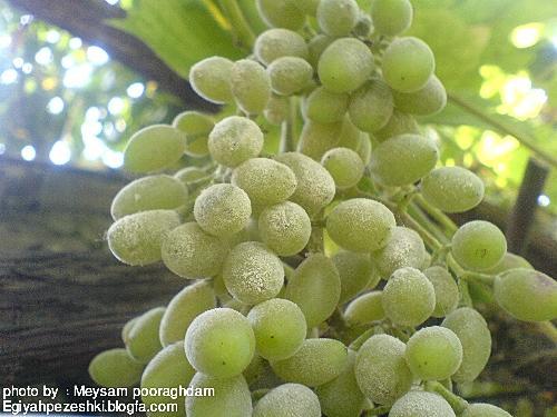 سفیدک پودری مو یا انگور  Grapevine powdery mildew
